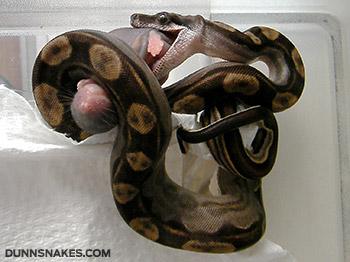 comment bien nourrir un serpent faq. Black Bedroom Furniture Sets. Home Design Ideas